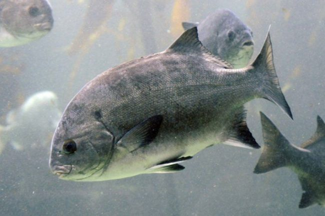 Galjoen: South Africa National Fish