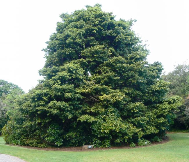 Real Yellowwood Tree